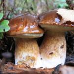 К чему снится собирать грибы